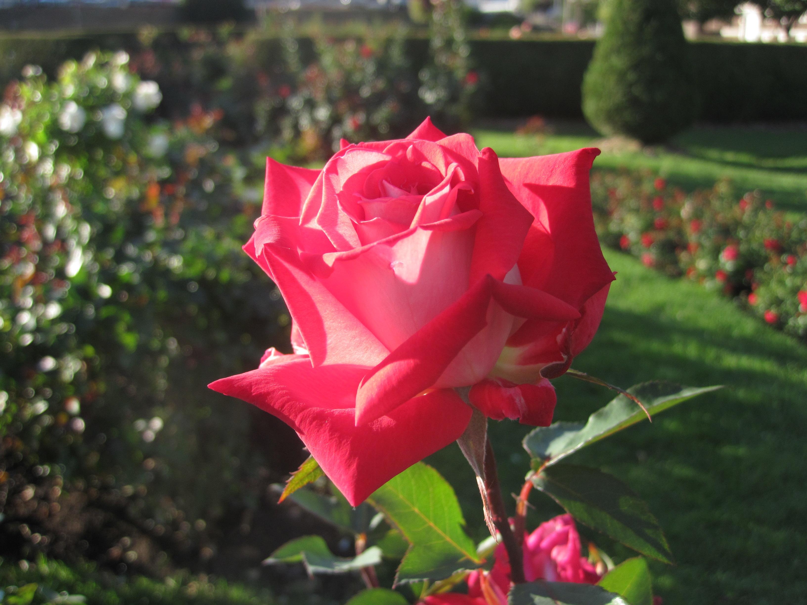 Roses at Leif Erikson Rose Garden 1