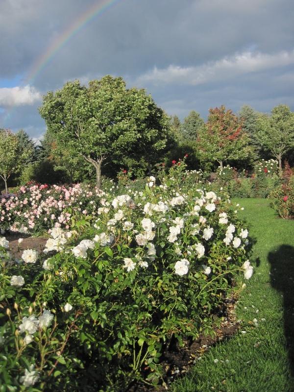 Leif Erikson Rose Garden 2