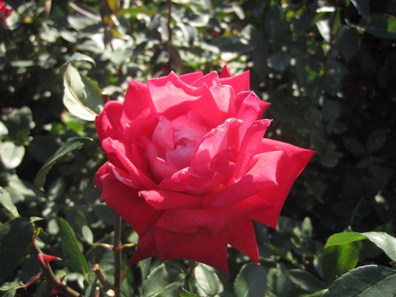 Roses at Leif Erikson rose Garden 3