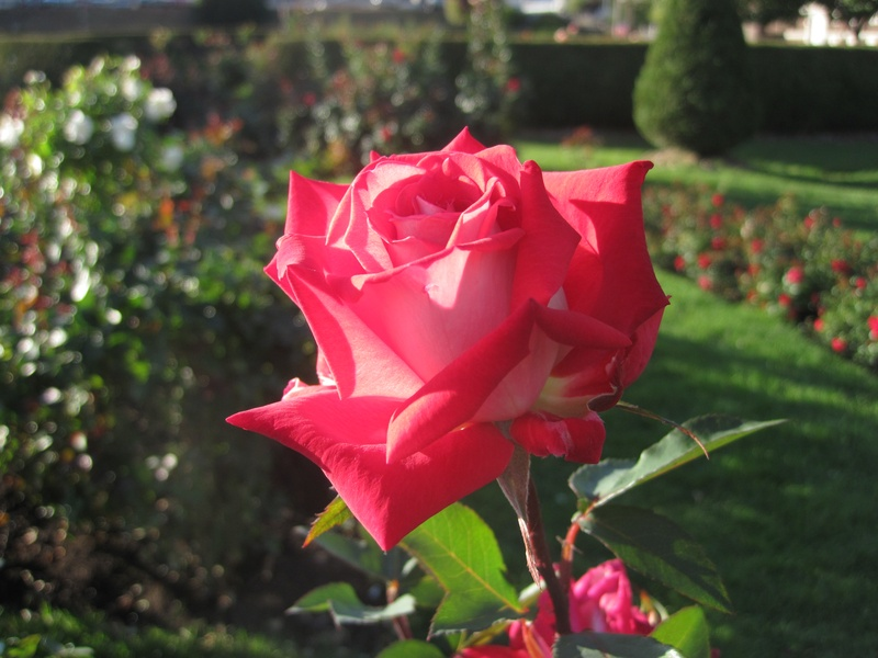 Rose at Leif Erikson Rose Garden 4